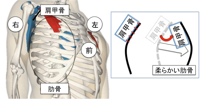 肩甲骨は肋骨の上にへばりつくようにし乗っかっています。  そのため  ポイント 肩甲骨だけを動かそうとしても、肋骨周りがガチガチだと肩甲骨は動きにくくなります。肋骨周りをグニャグニャに動かすことができれば、肋骨の上にくっついている肩甲骨も動きやすくなります。