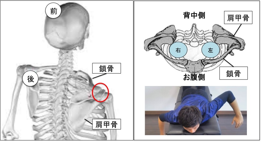 鎖骨と肩甲骨がありますが、肩鎖関節という一つの関節を介して連結しています。  右側の絵は頭の方から鎖骨と肩甲骨を描いてありますが、鎖骨と肩甲骨がくっついているのがよく分かるかと思います。そのため、肩甲骨をたくさん動かすためには肩甲骨に連結している鎖骨も連動して動かす必要があります。
