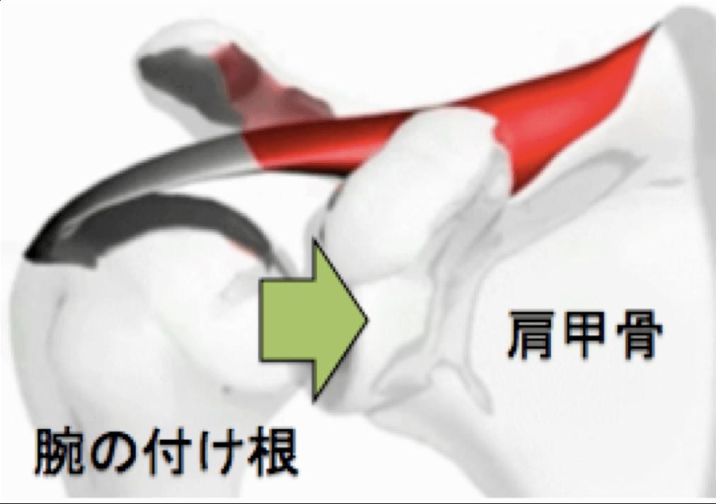 肩関節を安定させるためにインナーマッスルが活動しています。