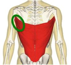 広背筋はピッチャーがよく使う筋肉なので固くなりやすいのですが、上の図のように広背筋はとても大きな筋肉です。