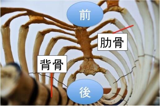 背骨・肋骨・肩甲骨の関係性について簡単に説明します。  上の写真を見てください。背骨は肋骨の中にあって肋骨と背骨はガッチリくっついています。  イメージとしては背骨が肋骨という鳥かごの中に固定されている感じです。  そのため、ピッチングでしなりを作るために背骨を動かして体幹を反らそうとしても背骨を取り囲んで固定している肋骨がグニャグニャに動かないとスムーズに体幹を反らせることはできません。