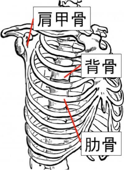 次に、肋骨と肩甲骨についてです。上の図のように肩甲骨は肋骨の上に乗っかっています。