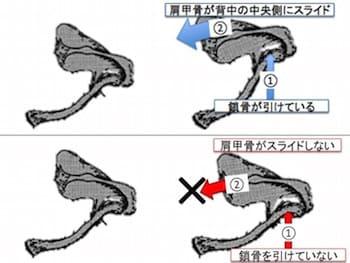 鎖骨をうまく使えている例と鎖骨をうまく使えずに肩甲骨の動きが出ていない例です。鎖骨をベッドから離すように動かすことができれば、鎖骨にくっついている肩甲骨も肋骨の上をスライドして自由自在に動かしやすくなります。反対に、鎖骨をしっかり動かせていないといくら肩甲骨を引き寄せようとしても鎖骨がロックされた状態なので肩甲骨をスムーズに動かすことはできません。鎖骨と肩甲骨の動きは表裏一体なのです。