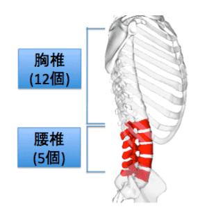 胸椎と腰椎の解剖です。腰の回転ではなく、胸椎の可動域が必要です。