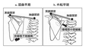 外転動作では肩甲骨と鎖骨の動きが重要になります