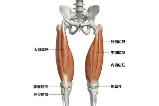 大腿直筋と内側広筋は太もも前にある筋肉です。