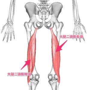 大腿二頭筋は太もも裏にある筋肉です。