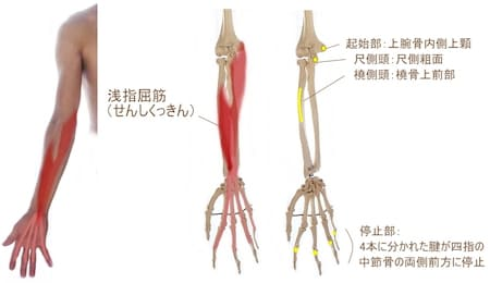 肘の内側(小指側)から指にかけてくっついてる浅指屈筋や深指屈筋などの筋力が強いと握力は高くなります。  ピッチングのリリースも同じで浅指屈筋や深指屈筋がたくさん活動することでボールを強くはじくことができます。そのため、浅指屈筋などの筋力が強い(=握力が高い)ピッチャーがその力をリリースに活かすことができると回転数が高くなり、球速もアップすることができる可能性があります。