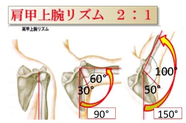 肩甲骨が動かないと肩を痛めやすい。腕を上げる動作は腕のみが動くのではなく、肩甲骨もその動きについていくように向きを変えて腕がスムーズに動かせるようにアシストしてくれているということです。一般的に、腕のトータルの動きに対する角度の比率が上腕骨と肩甲骨で2:1になるといわれています。